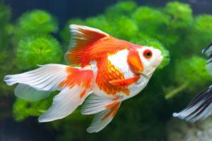 أنواع أسماك الزينة وطرق تربيتها في المنزل